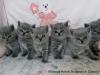 6 niebieskich kociaków Miot na Z
